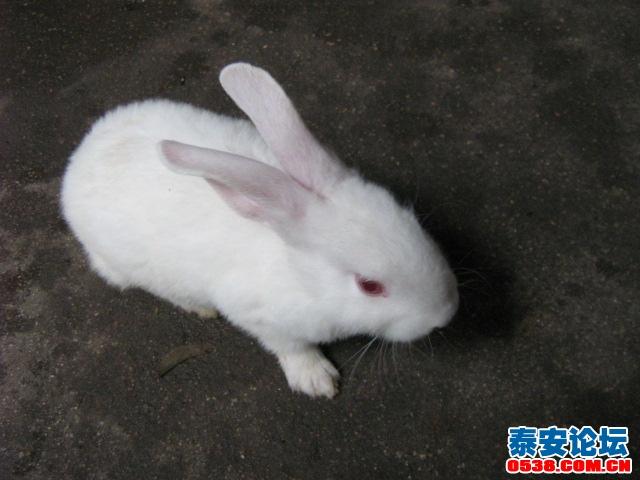 出售可爱的小白兔 家养的