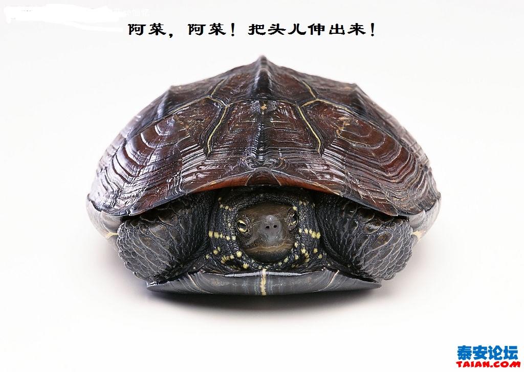 回头乌龟简笔画