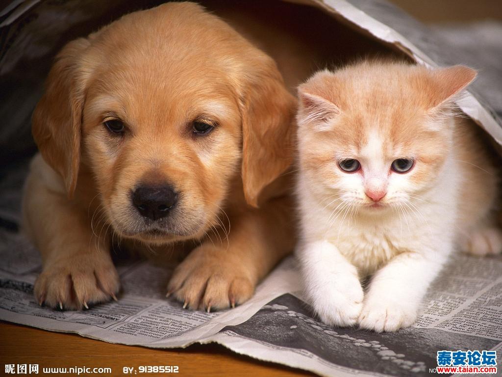 我属狗,QQ叫加菲猫。 喜欢狗也喜欢猫, 小的时候最喜欢养狗, 在我20岁以前从未间断, 在农村养狗只有一个目的 那就是看家护院。 而我养狗只是为了得到温暖, 它可以在任何时候陪伴我 跟随我, 喜欢对着狗狗说话 看着它的眼神交流 我相信它们是可以理解我的一切, 抚慰我的灵魂 养过的狗狗有漂亮的也有普通的 有凶悍的狼狗 有平凡的家犬 有可爱的京巴 有聪明的也有愚蠢的 它们陪伴了我儿时的很多美好时光 当我不愿和人们沟通的时候 就会带着我的狗狗步行到遥远的树林 我自己的秘密花园 向它絮叨我的梦想 我的苦恼 我的