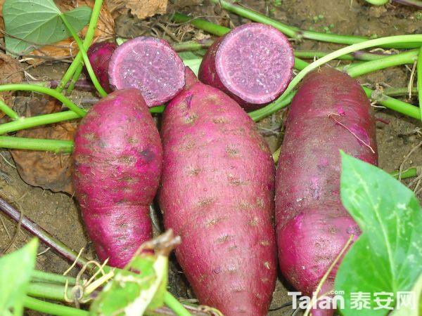 紫薯1.JPG