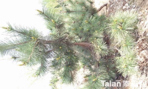 低价出售绿化树木松树和柏树