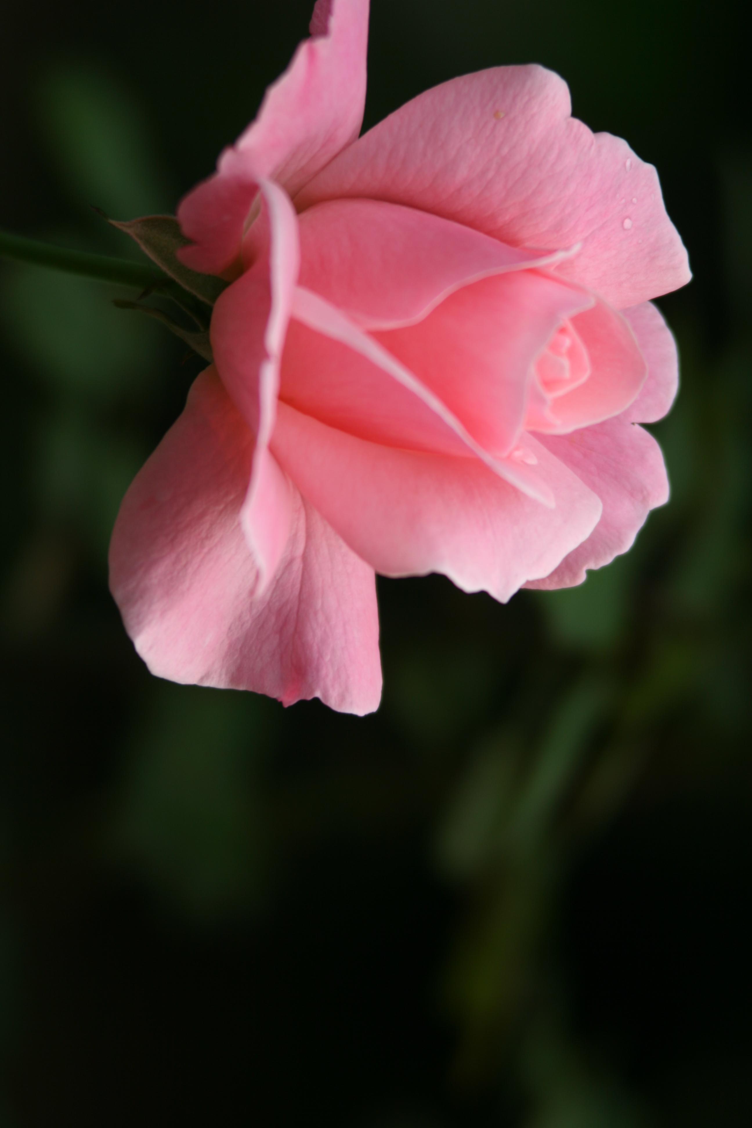 一朵鲜花图片
