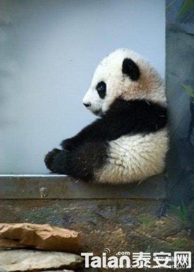 壁纸 大熊猫 动物 400_562 竖版 竖屏 手机