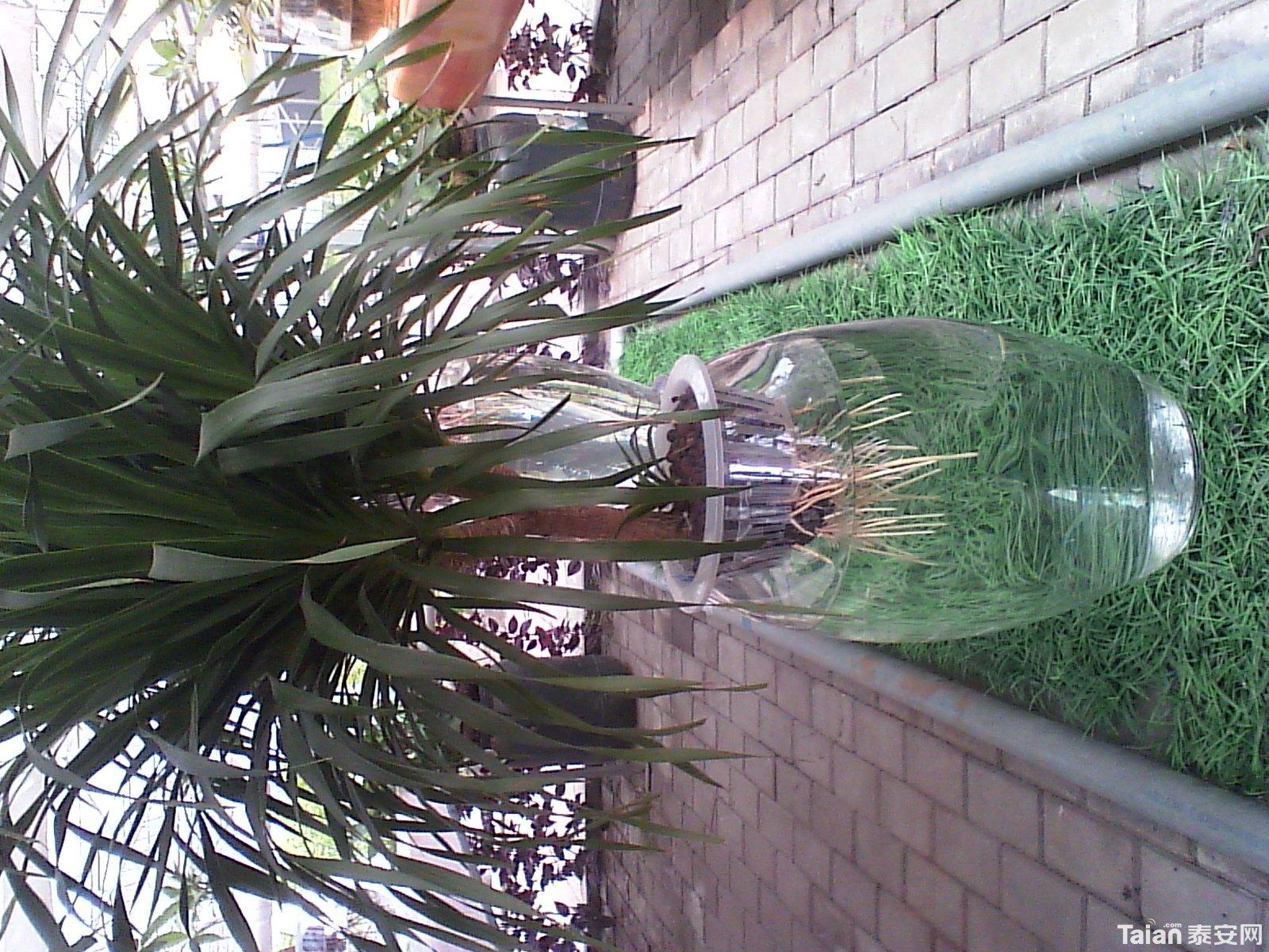 水培龙血树