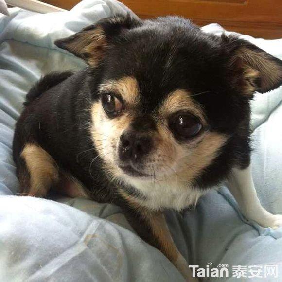 这种短狗叫什么名,特短特可爱