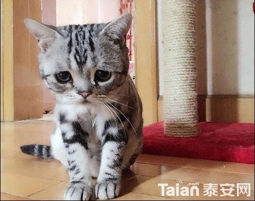 委屈猫走红,活着不如猫.