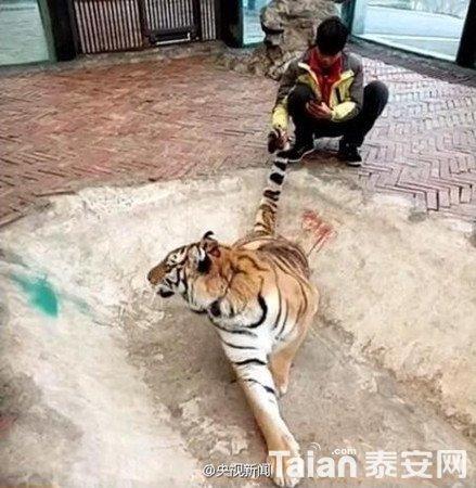 """贵阳野生动物园饲养员直播""""虐虎""""! - 泰安拉呱 - 泰安"""