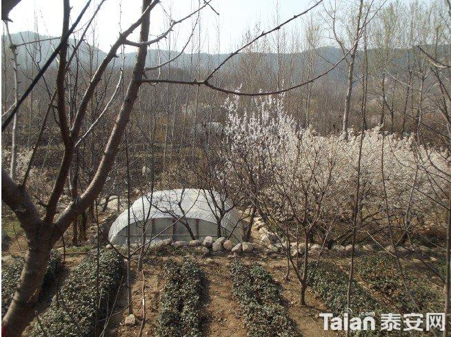 樱桃树下的茶园.jpg