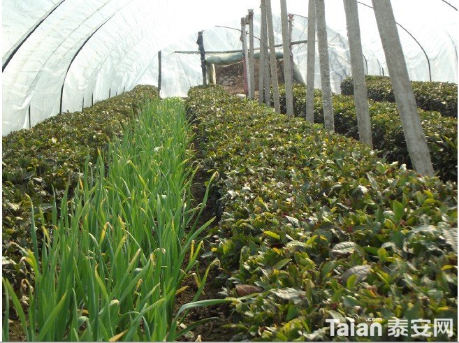 蒜苔茶园.jpg
