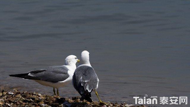 海鸥.jpg