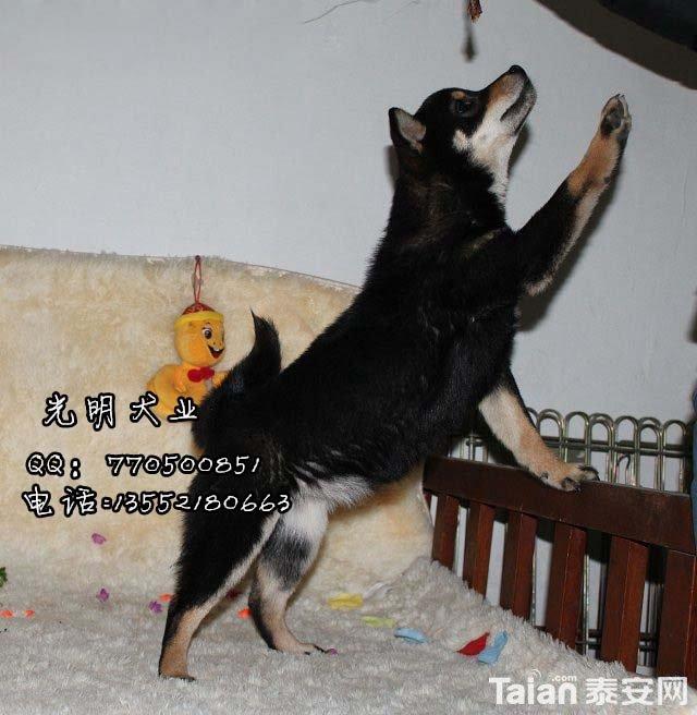 柴犬 (11).jpg