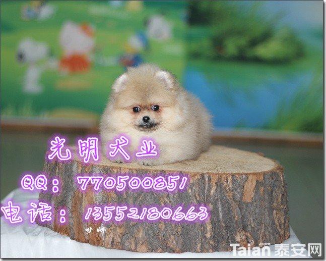 博美犬 (93).jpg