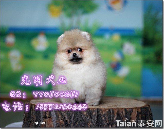 博美犬 (94).jpg