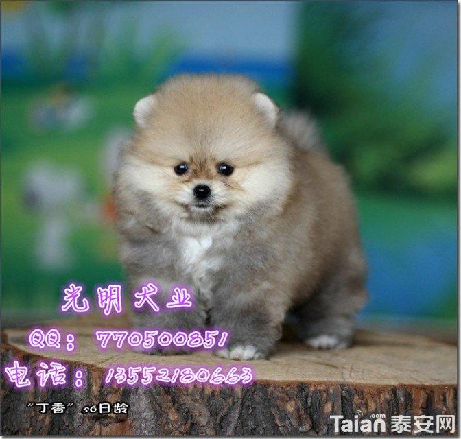 博美犬 (95).jpg