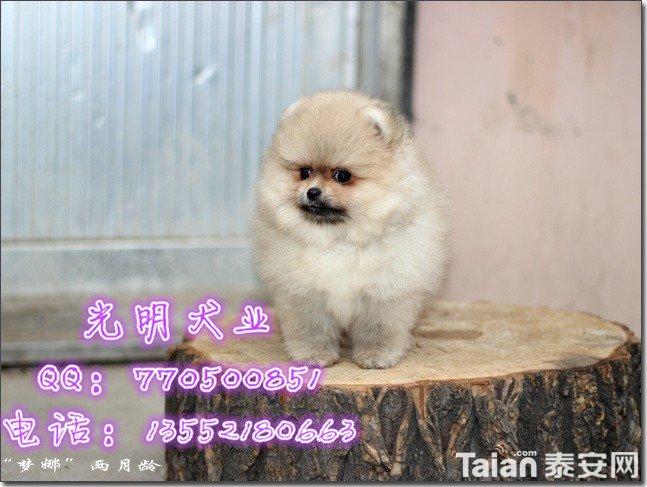 博美犬 (102).jpg