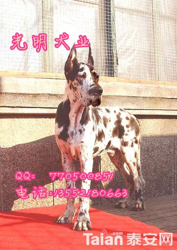 大丹犬 (12).jpg