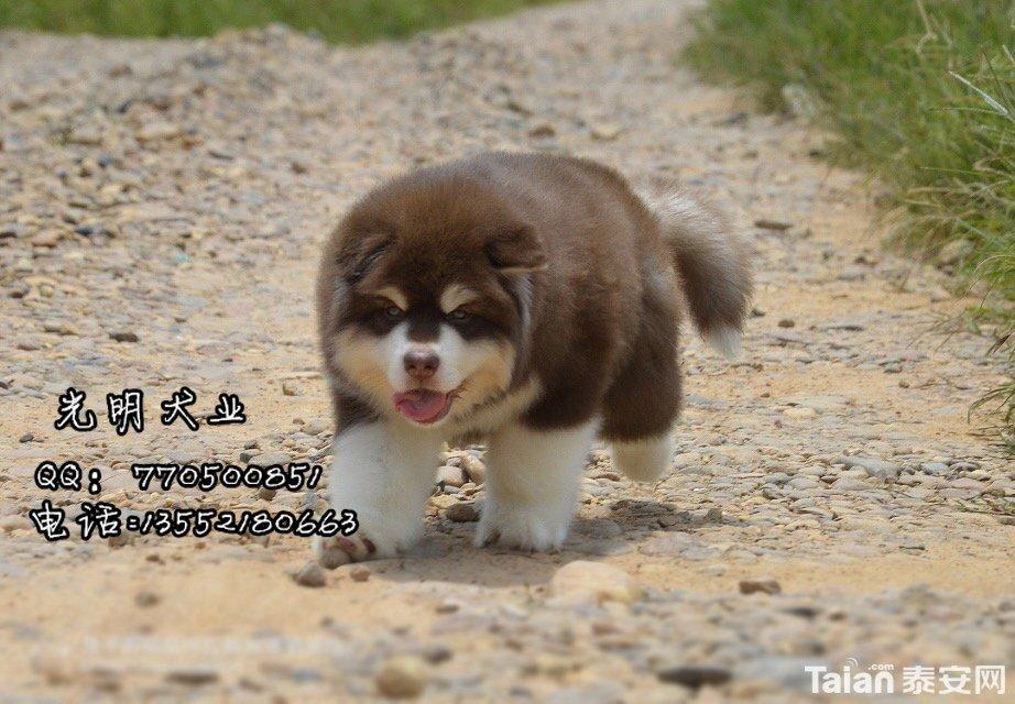 阿拉斯加犬 (11).jpg
