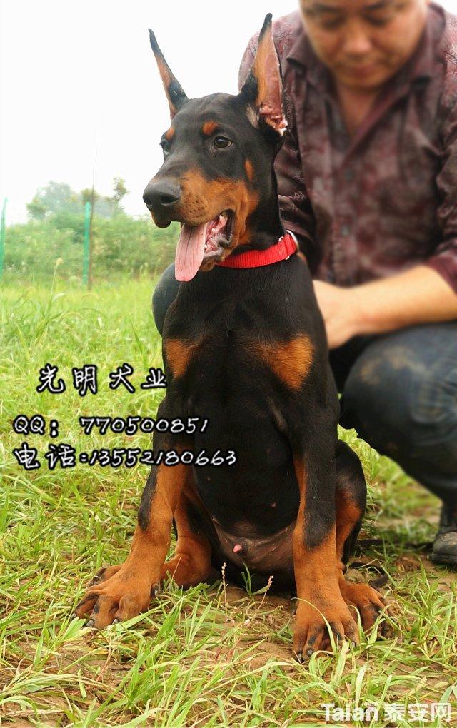 杜宾犬 (16).jpg