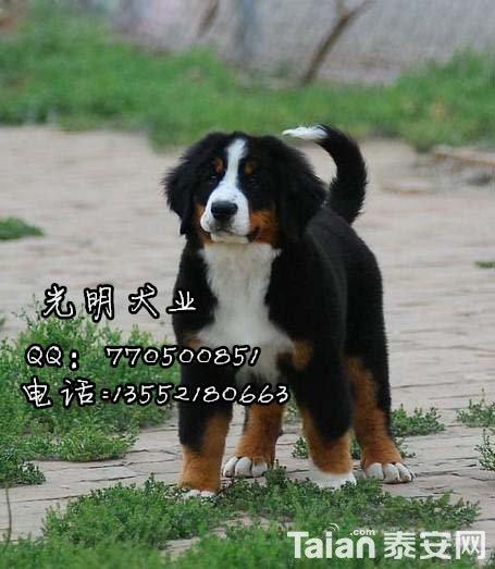 伯恩山犬 (14).jpg