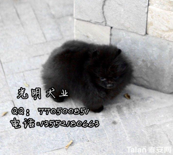 博美犬 (32).jpg