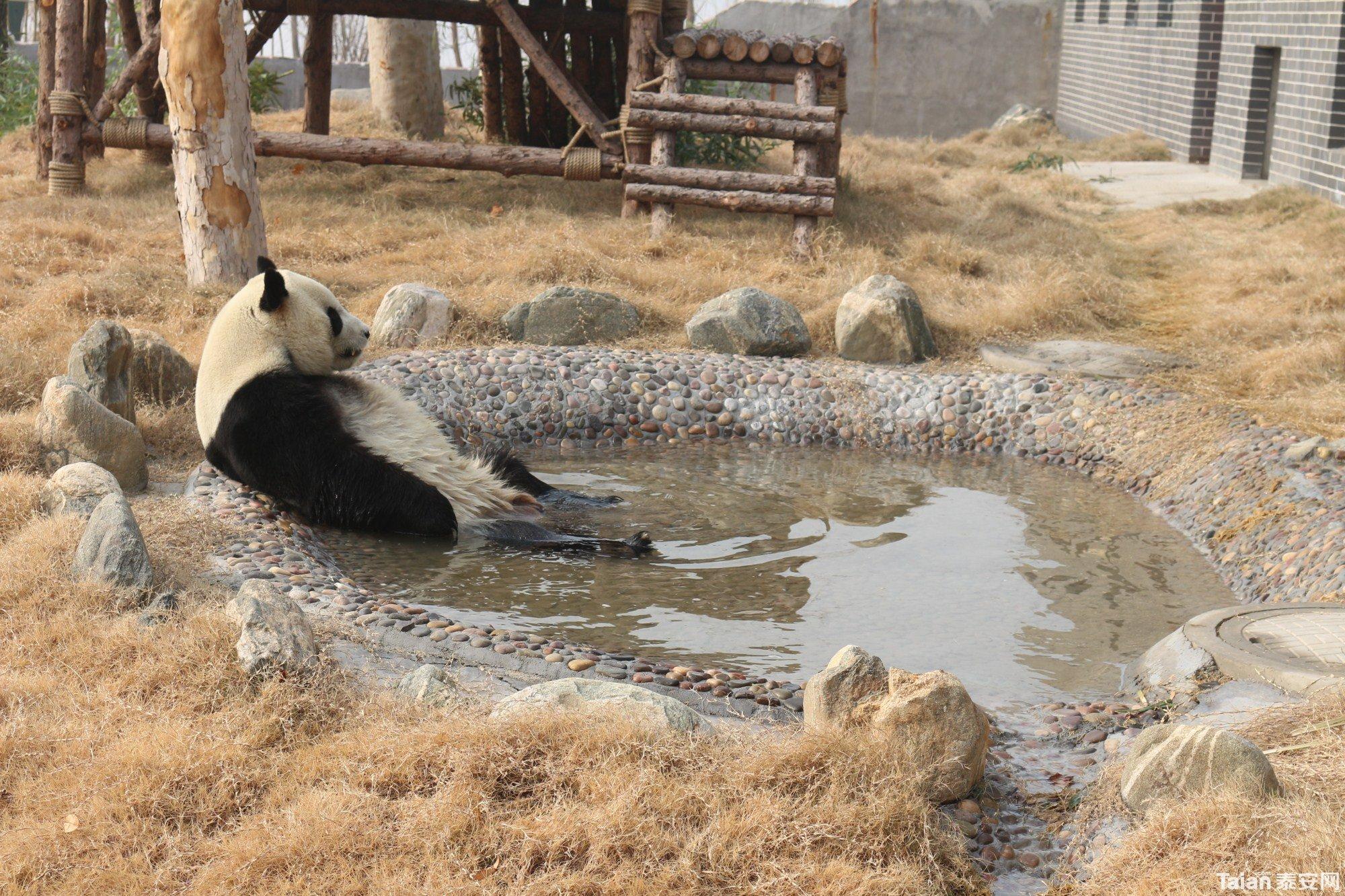 熊猫在水里_副本.jpg