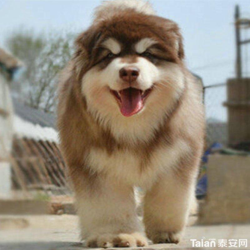 出售红色黑色灰色巨型熊版阿拉斯加犬 - 宠物之家
