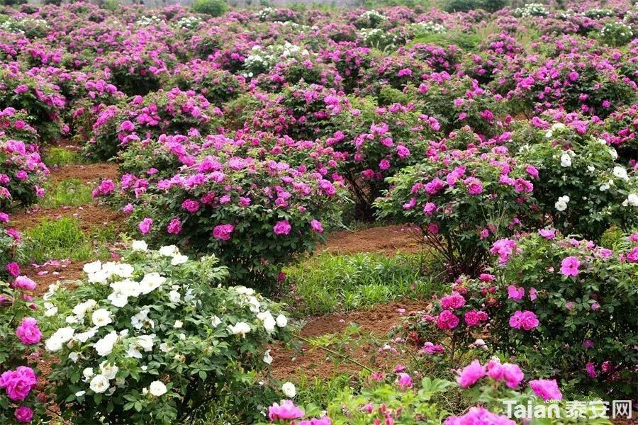 玫瑰花2.jpg