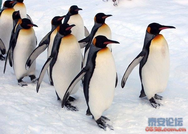 可爱的帝企鹅